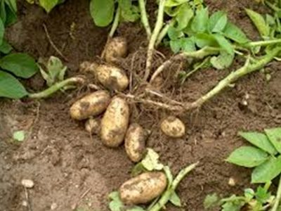 Récolte pommes de terre - Le Clan des Sens