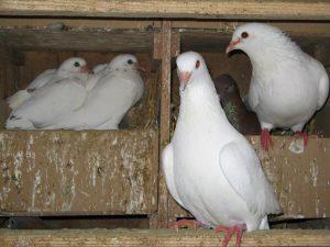 Pigeons de Racan - Julien Plesel - Le Clan des Sens